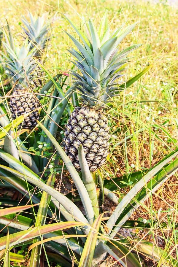 Download 菠萝农场 库存图片. 图片 包括有 室外, 饮食, 没人, 庭院, 特写镜头, 词根, 菠萝, 回归线, 收获 - 72369017