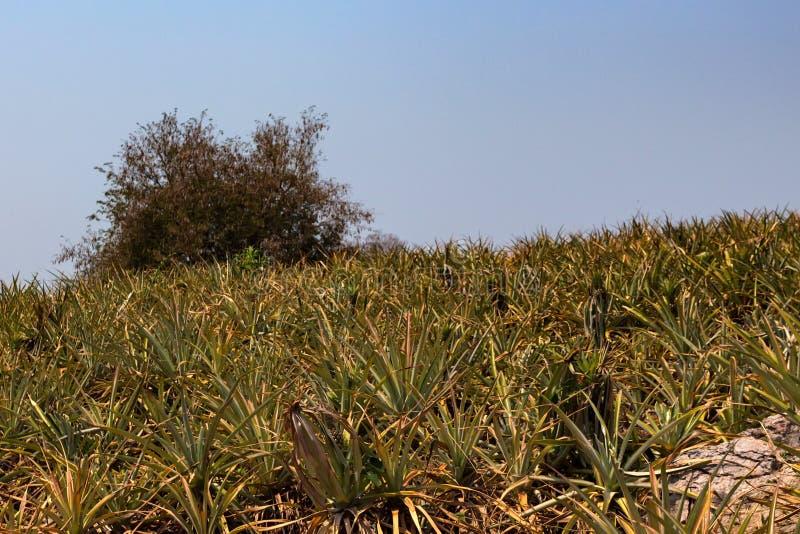 菠萝种植园在泰国 库存照片