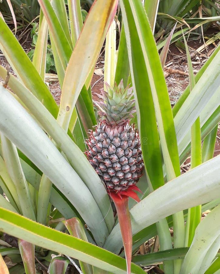 菠萝 免版税库存图片