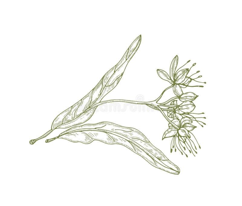 菩提树叶子华美的外形图和花或者开花 用于phytotherapy的美好的树零件被画 向量例证