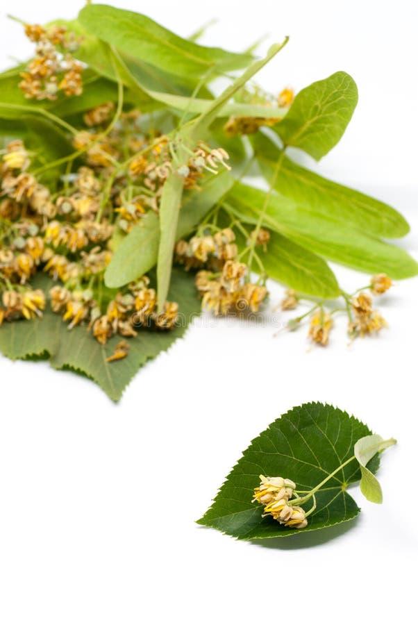 菩提树在与拷贝空间的白色同种疗法替代医学概念开花 库存照片