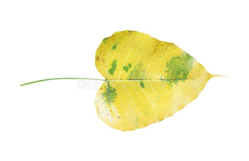 菩提树在白色背景离开被隔绝与裁减路线,黄色与绿色镶边榕属religiosa 库存照片