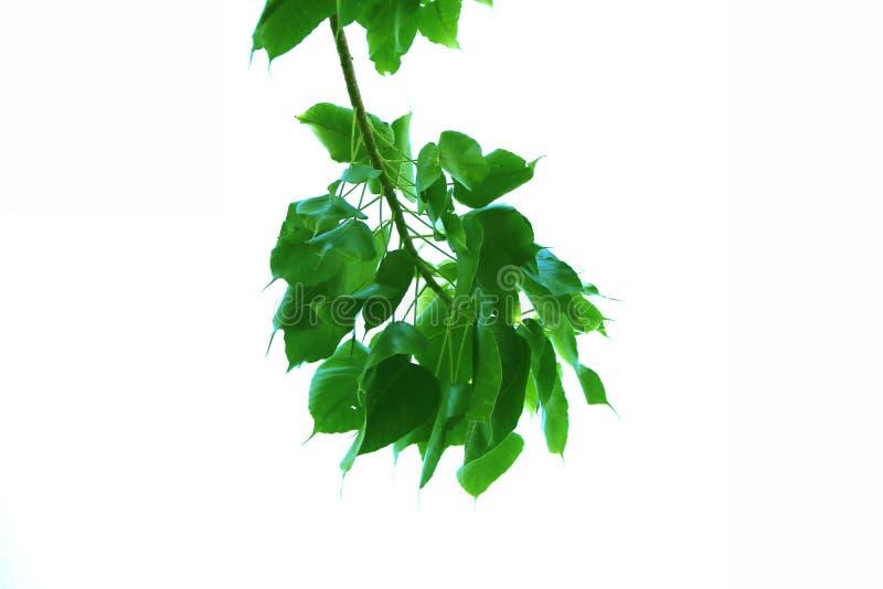 菩提树树样式绿色叶子和隔绝在白色背景 免版税库存照片
