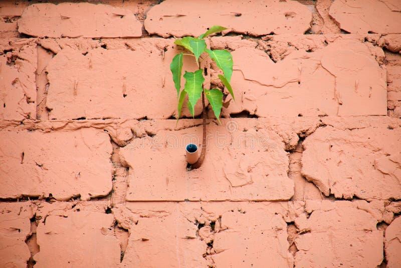 菩提树榕属religiosa是在大厦墙壁块,在橙色混凝土的小树成长的水管PVC的生长边 库存照片