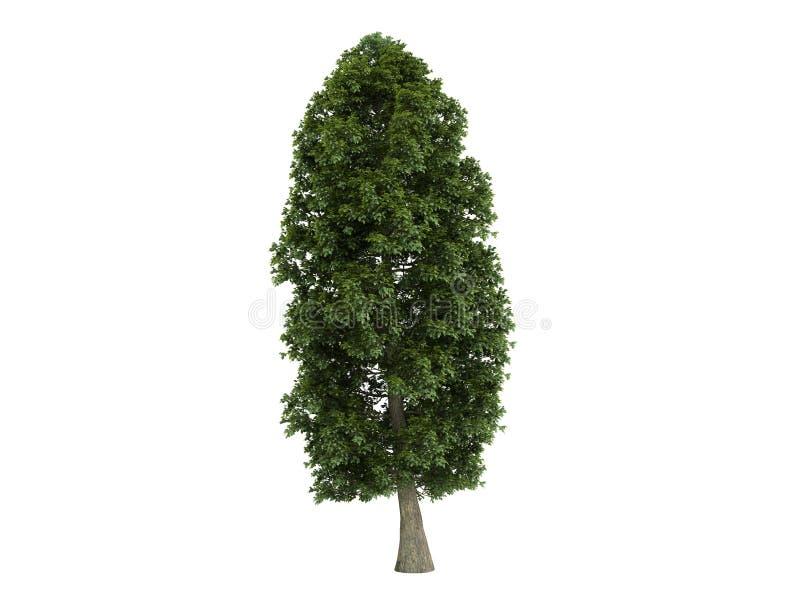 菩提树platyphyllos椴树属 库存例证