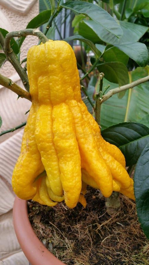 菩萨柑桔的手 库存图片