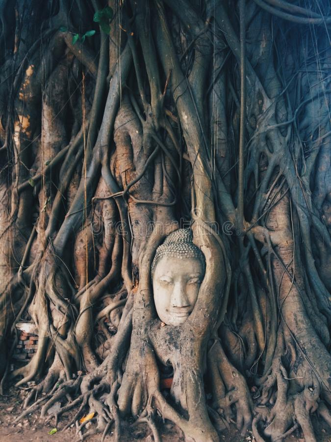 菩萨树 库存图片