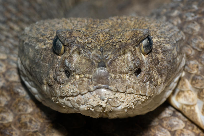 菱纹背响尾蛇响尾蛇得克萨斯 库存照片