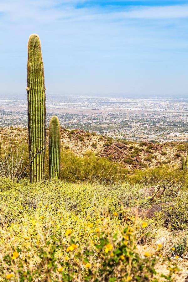 菲尼斯亚利桑那沙漠用柱仙人掌仙人掌和都市风景 免版税图库摄影