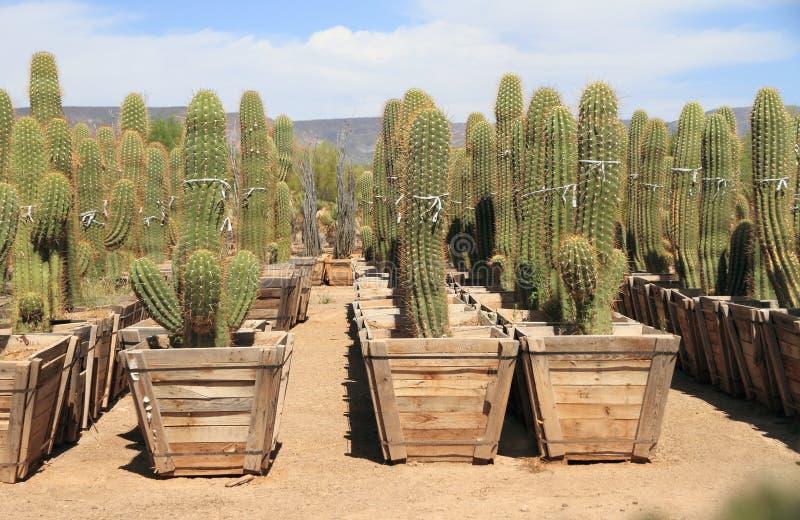 菲尼斯,亚利桑那:沙漠植物托儿所-柱仙人掌仙人掌待售 库存图片