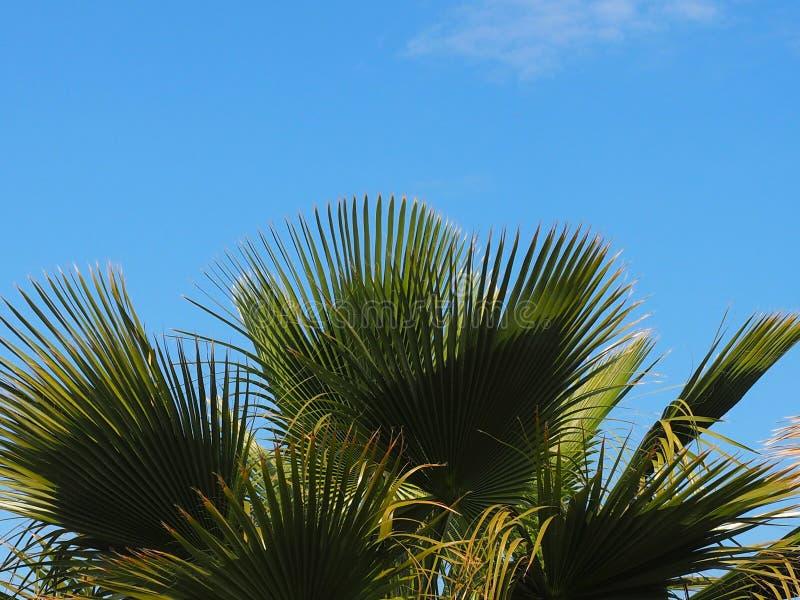 菲尼斯Theophrasti或克里特岛枣椰子 库存图片