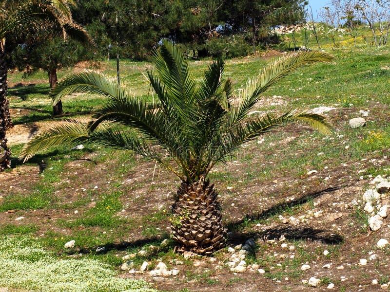菲尼斯Theophrasti或克里特岛枣椰子 图库摄影