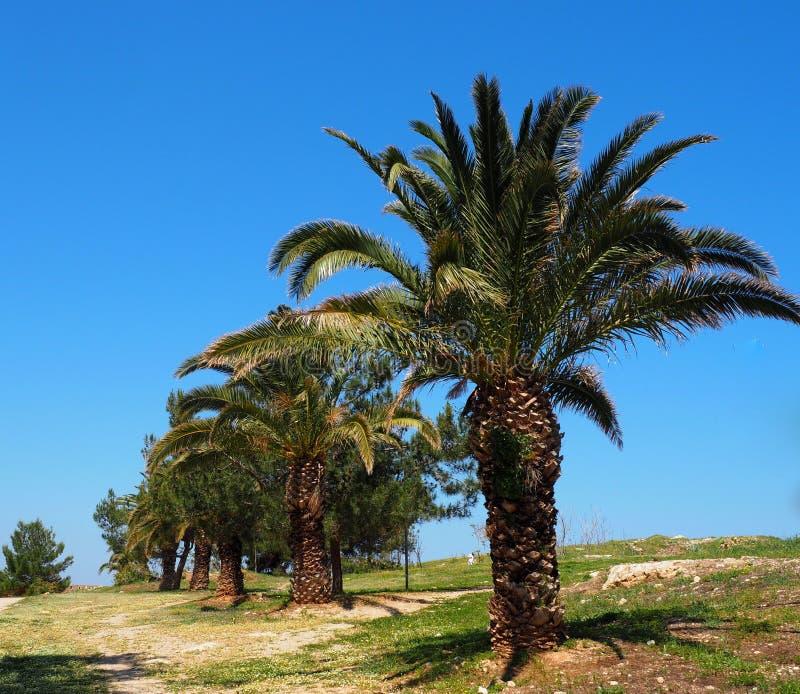 菲尼斯Theophrasti或克里特岛枣椰子 免版税库存照片