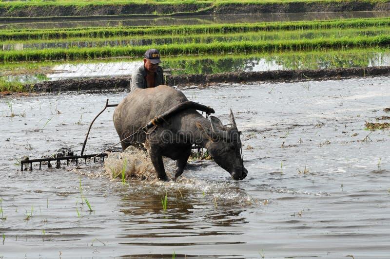 菲律宾、棉兰老岛、农夫和水牛 免版税图库摄影