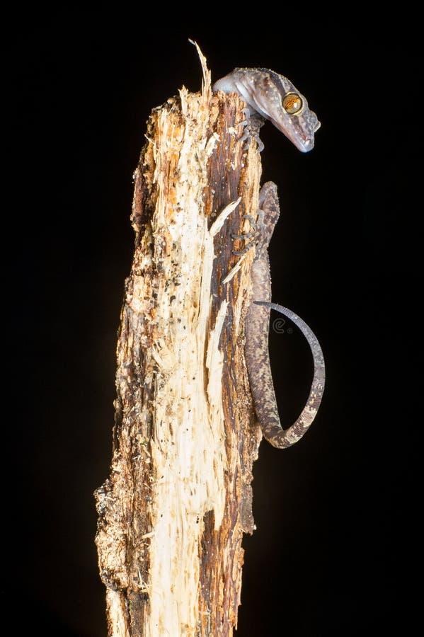 菲律宾倾向用了脚尖踢壁虎蜥蜴 库存图片