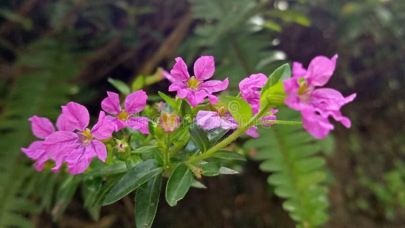 菲律宾当地紫色花 库存图片