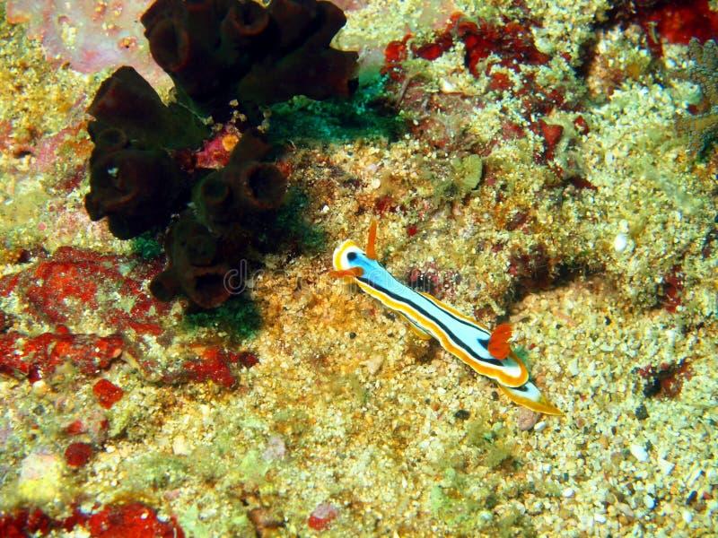 菲律宾海的海参 图库摄影