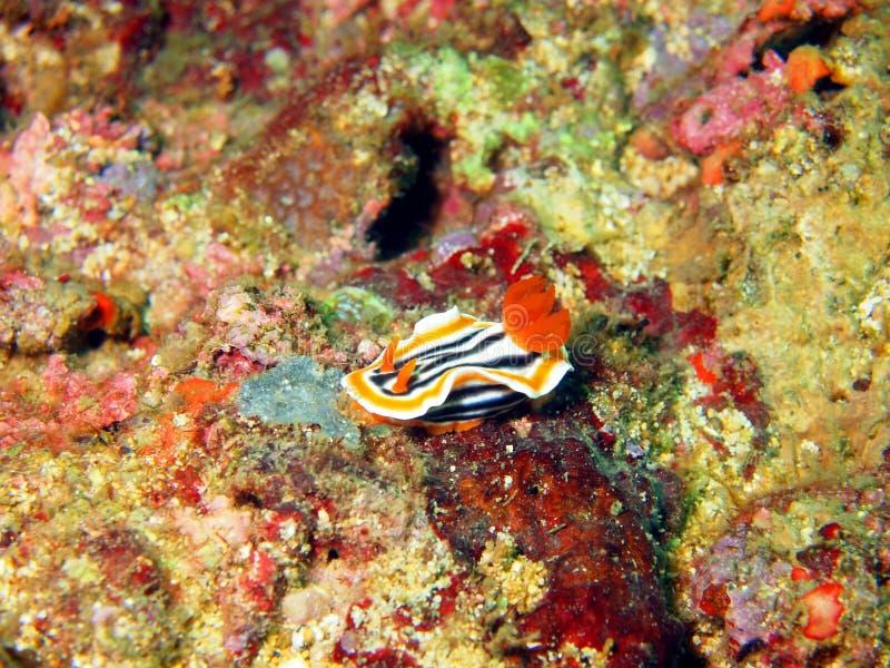 菲律宾海的海参 免版税库存照片
