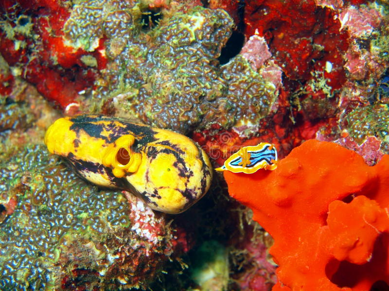 菲律宾海的海参 免版税库存图片