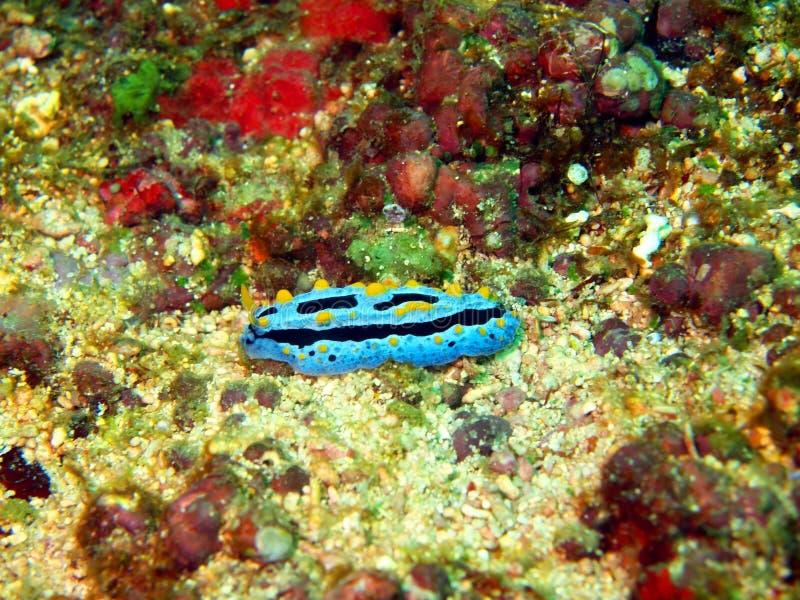菲律宾海的海参 库存照片