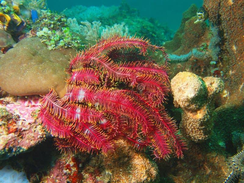 菲律宾海的海百合 免版税库存图片