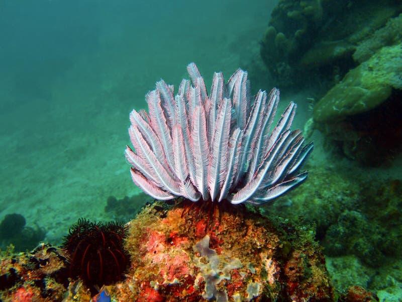 菲律宾海的海百合 免版税库存照片