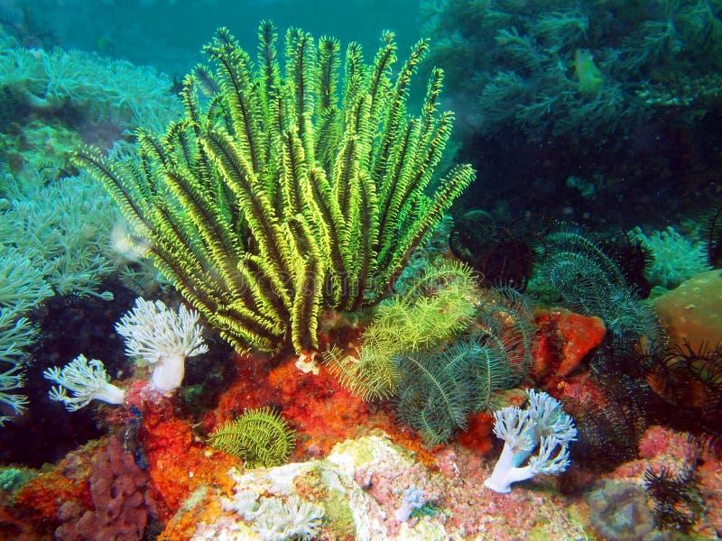 菲律宾海的海百合 库存照片