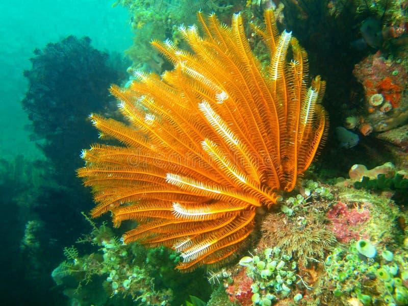 菲律宾海的海百合 图库摄影