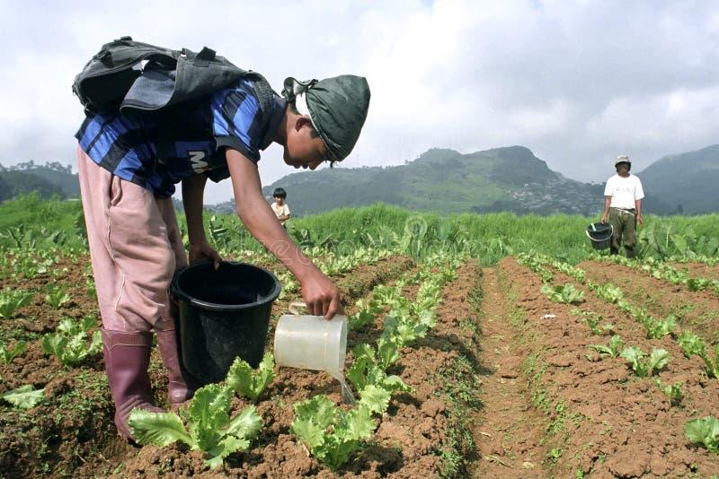 菲律宾男孩和灌溉年轻菜植物 免版税库存图片