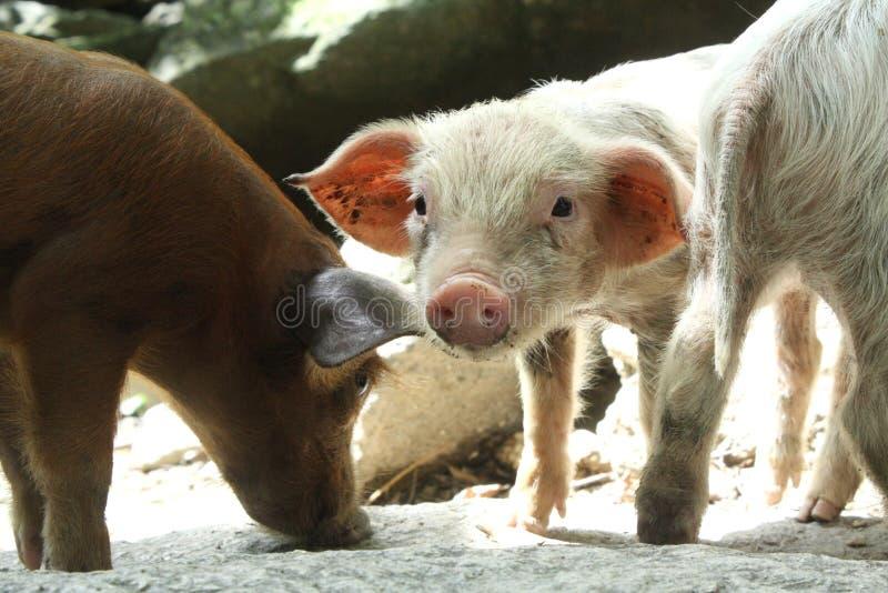 菲律宾,小猪 免版税库存图片