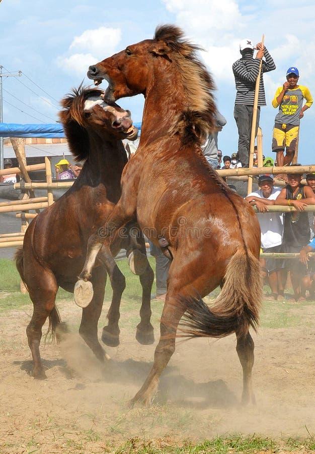 菲律宾,棉兰老岛,马战斗 库存照片