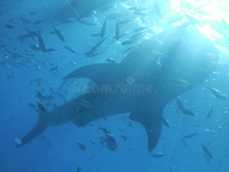菲律宾Whaleshark 免版税库存照片