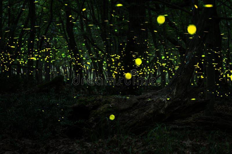 萤火虫夜在有萤火虫的森林里 免版税图库摄影