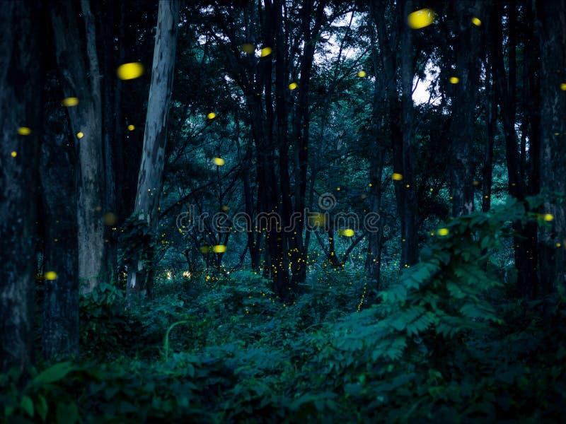 萤火虫飞行在森林里在晚上在Prachinburi泰国 f 免版税库存图片