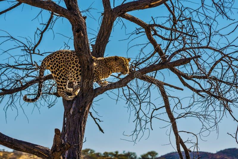 营养充足豹子在纳米比亚 库存照片