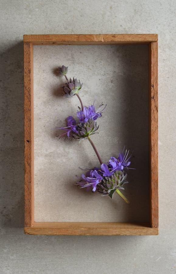 萨尔维亚紫袍贤人在玻璃盖匣的花静物画 库存图片