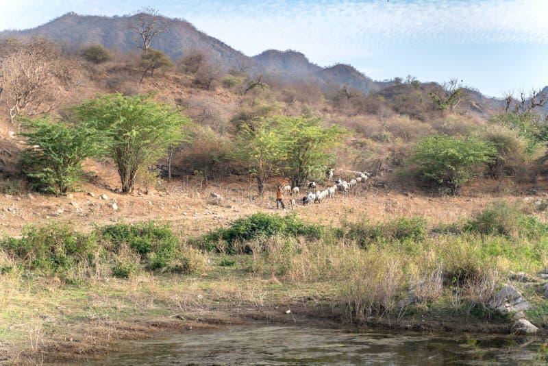 萨德里/印度13 07 2019年:印度牧羊人和他的动物 免版税库存图片