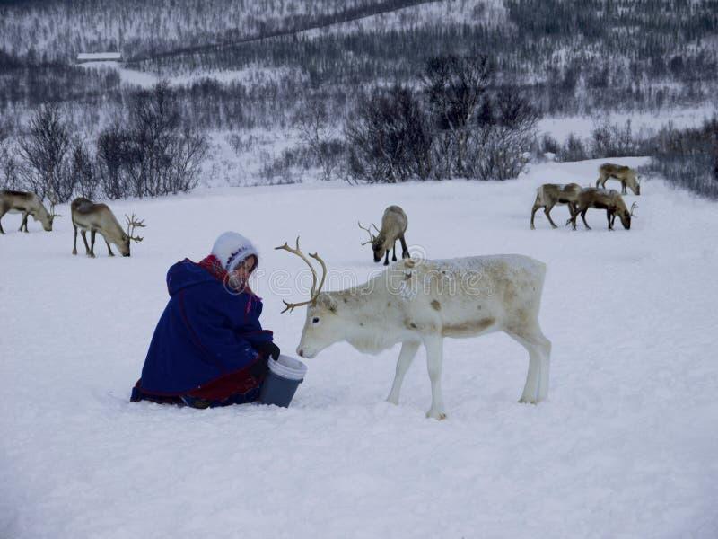 萨米人哺养的驯鹿 免版税库存图片