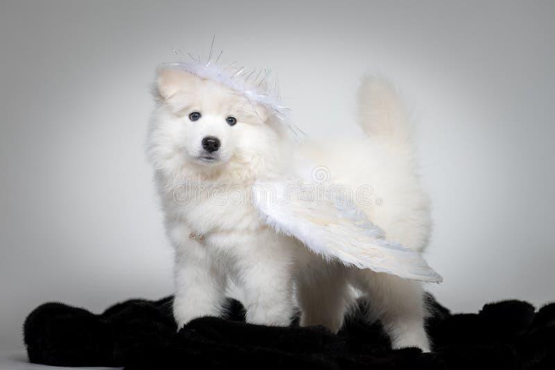 萨莫耶特人狗滑稽的小狗画象在演播室的白色背景的 库存图片
