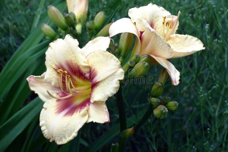 萱草属植物的两朵大花 免版税库存照片