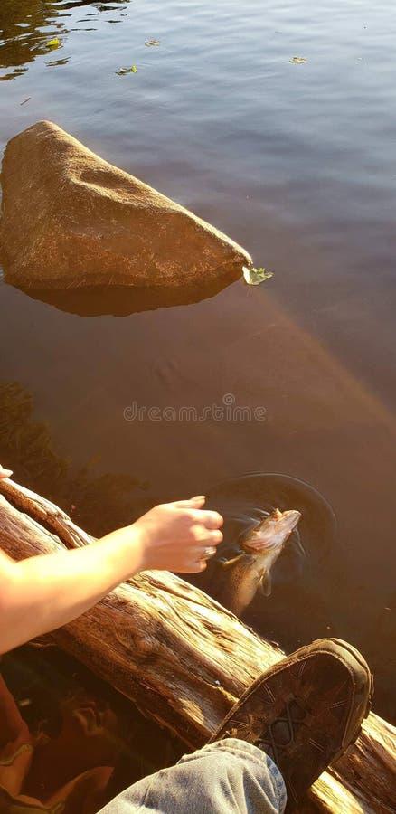落下的鱼到水里 免版税库存图片