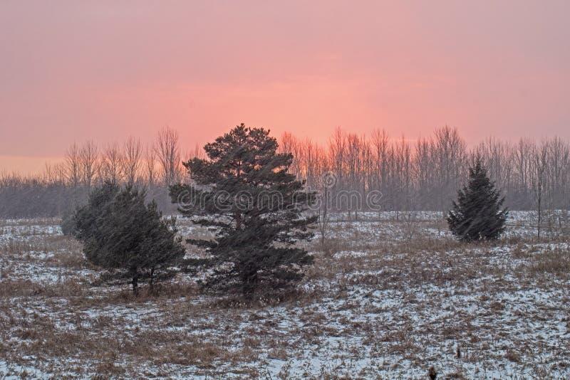 落反对松树的雪在日出 免版税库存照片