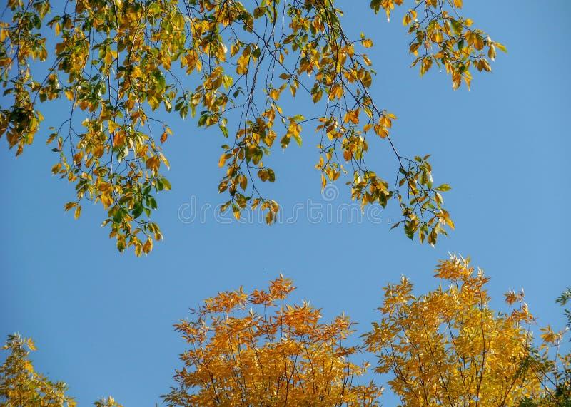 落叶叶子在秋天有天空蔚蓝背景在车里雅宾斯克,俄罗斯 库存图片