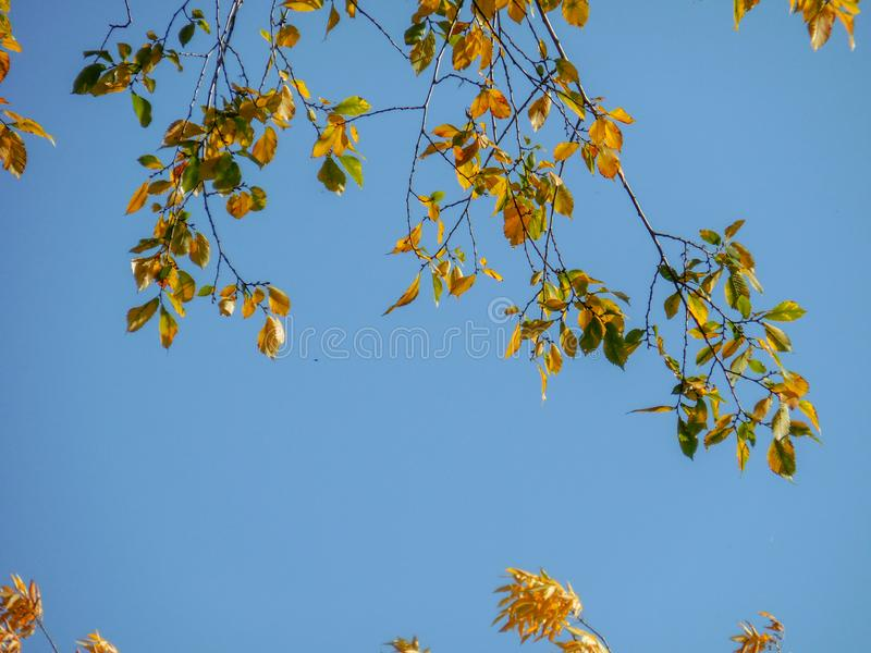 落叶叶子在秋天有天空蔚蓝背景在车里雅宾斯克,俄罗斯 免版税库存照片