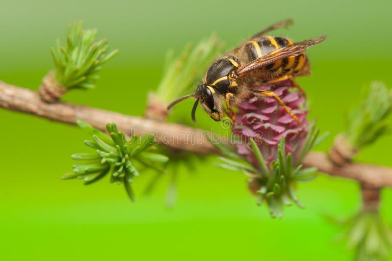 落叶松属花和黄蜂 图库摄影
