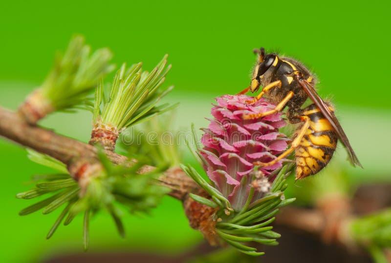 落叶松属花和黄蜂 免版税库存照片