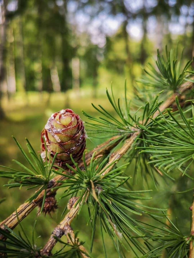 落叶松属针叶树的分支与一个小优美的锥体的 免版税库存照片