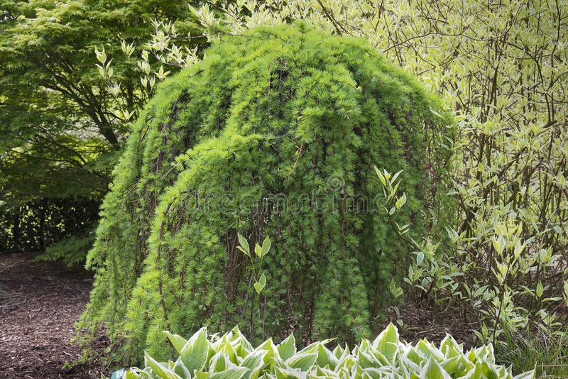 落叶松属kaempferi或日本落叶松属树在lanscaped庭院机智 免版税库存照片