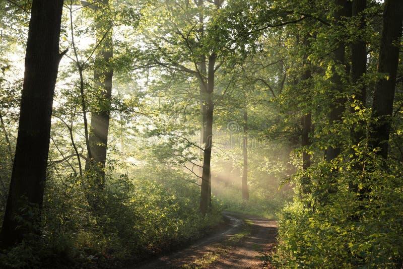 落叶林在一个有薄雾的早晨 库存照片