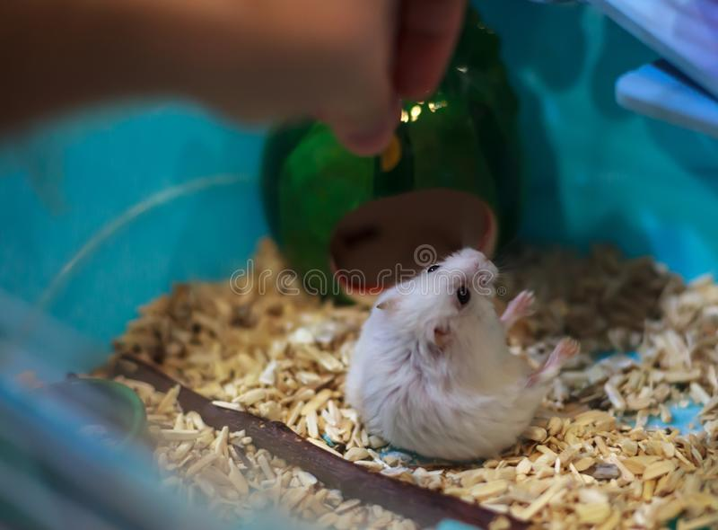 落在后腿的逗人喜爱的异乎寻常的冬天白矮星仓鼠乞求为从所有者手的宠物食品 冬天白色仓鼠是als 库存照片